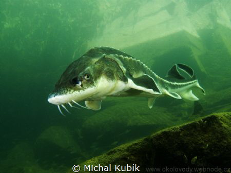 Russian sturgeon by Michal Kubík