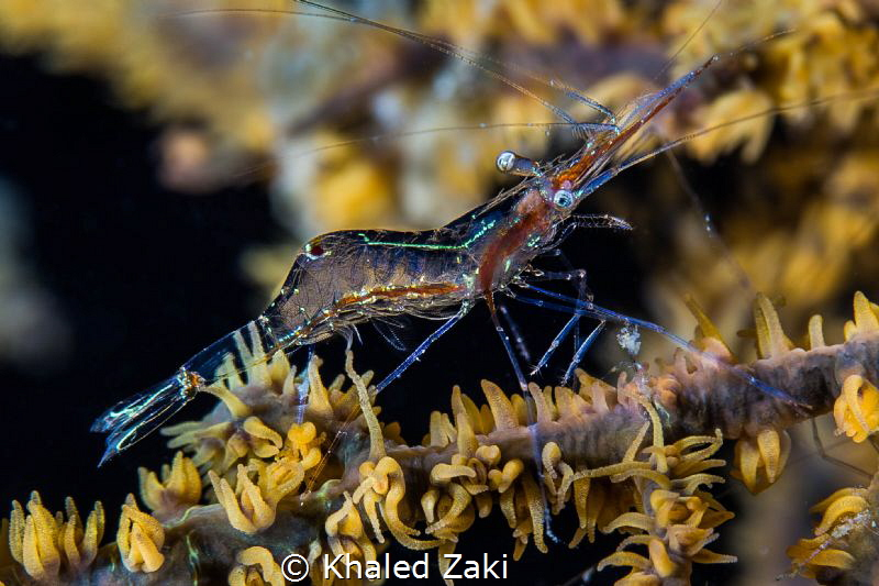 Shrimp on line by Khaled Zaki