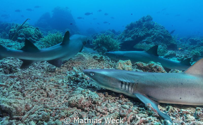 White tip reef sharks at Tubbataha by Mathias Weck