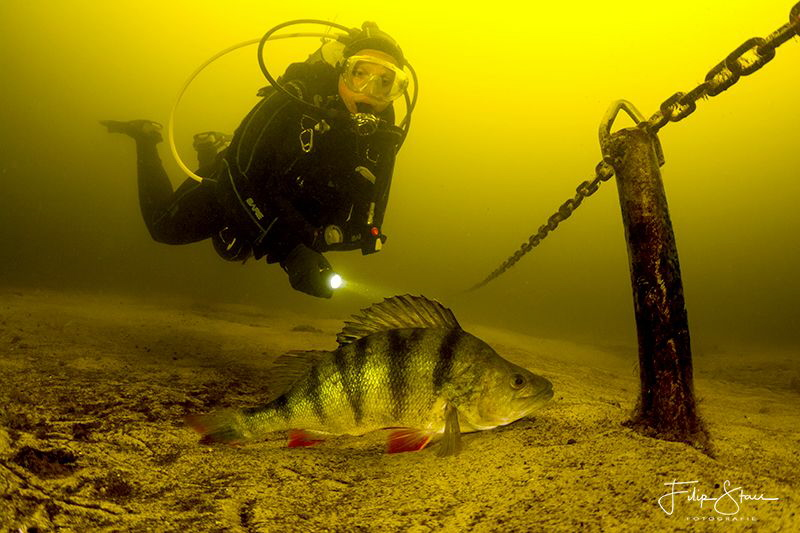 A diver investigates a perch in the fresh water of Vinkev... by Filip Staes
