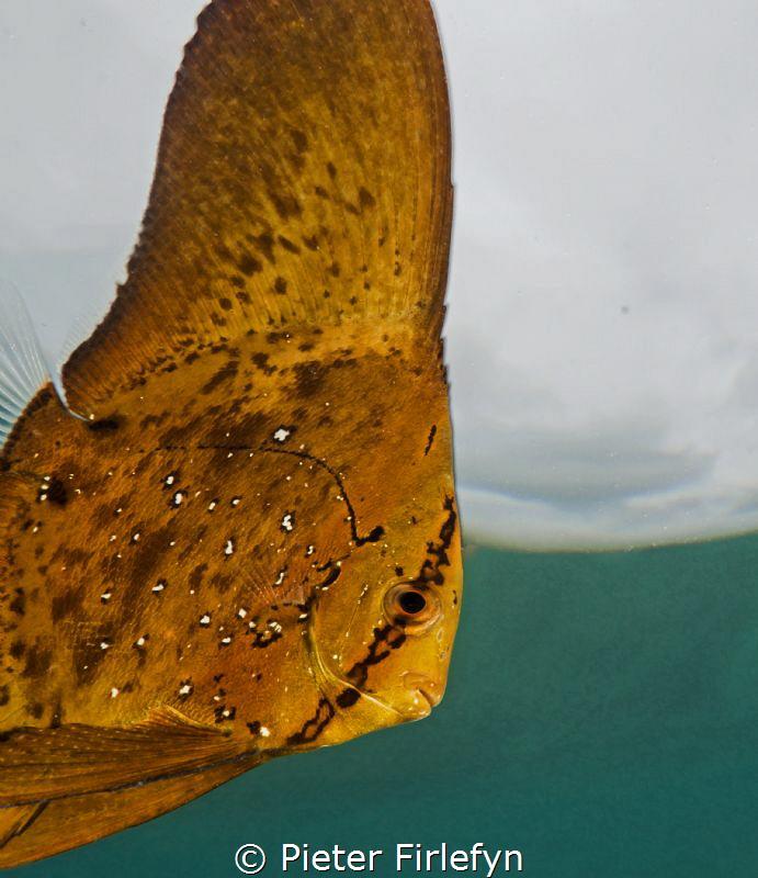 batfish: platax orbicularis juveniles by Pieter Firlefyn