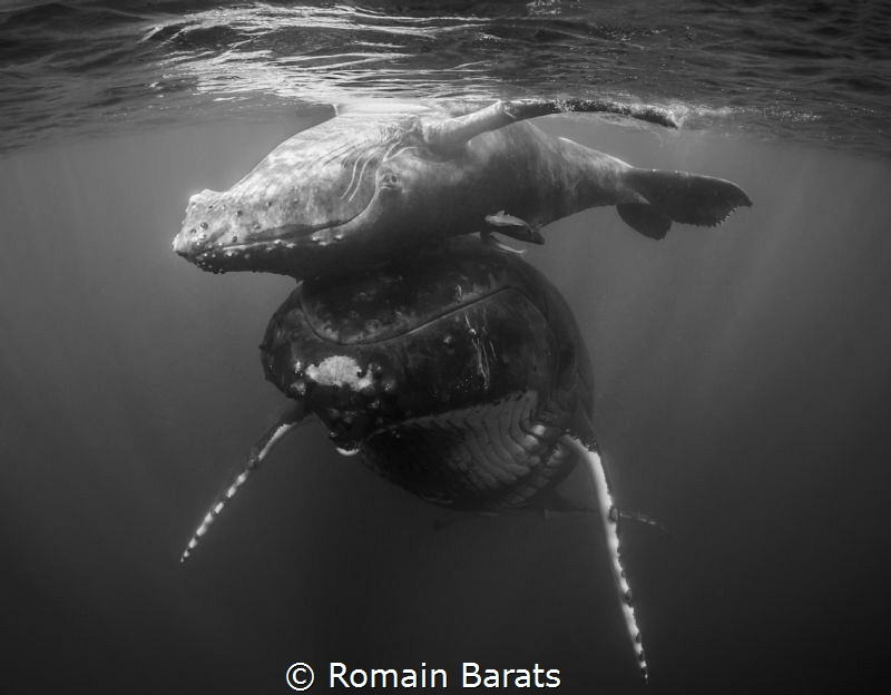 a young humpback whale is playing on his mother nose by Romain Barats