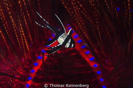 cardinalfish (Pterapogon kauderni) in flames by Thomas Bannenberg