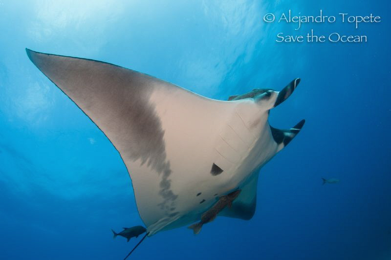 Mantaray in the ligth, San Benedicto México by Alejandro Topete