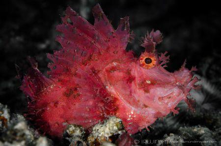 R E D  Red Rhinopias (Rhinopias frondosa) Lombok, Indon... by Irwin Ang