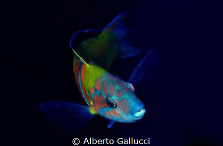 Thalassoma pavo by Alberto Gallucci