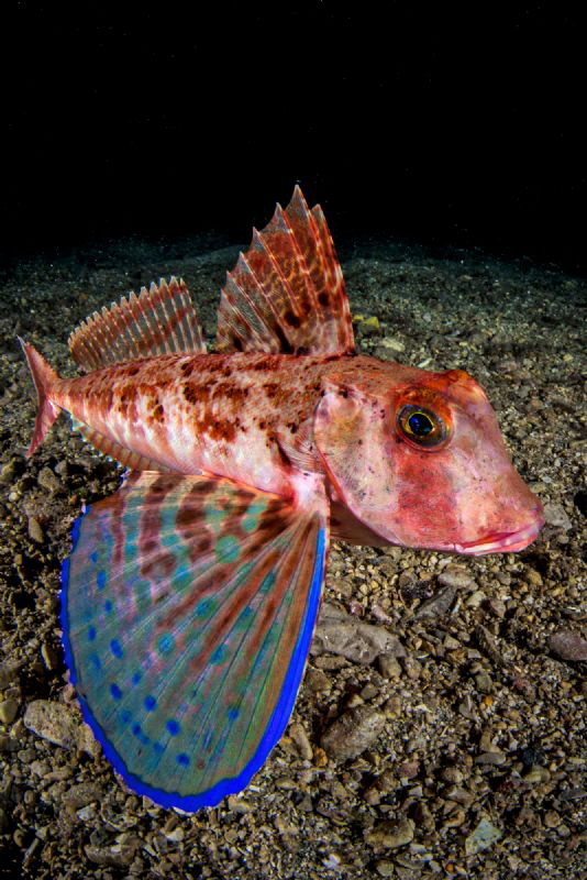 Red gurnard by Marco Gargiulo