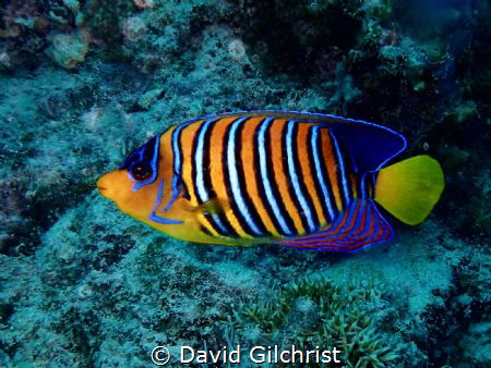 A Royal Angelfish, a beauty of the Red Sea. by David Gilchrist
