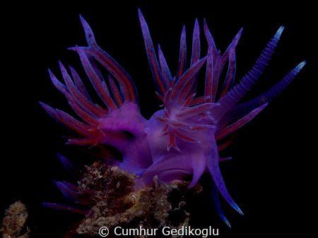 Flabellina affinis by Cumhur Gedikoglu