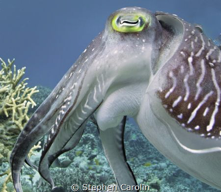 Cuttlefish up Close and Personal by Stephen Carolin