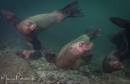 Sea puppies having fun around me by Mario Robillard