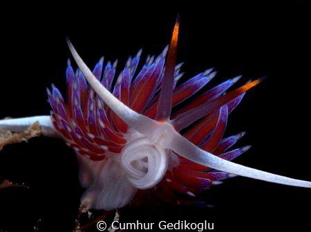 Cratena peregrina by Cumhur Gedikoglu