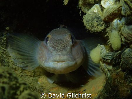 A Round Goby Portrait. This specimen was spotted residing... by David Gilchrist