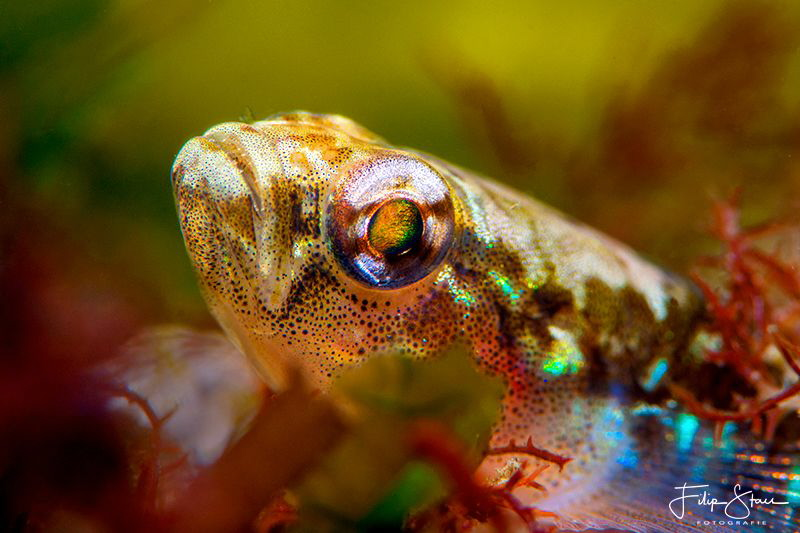 Two-spotted goby (Gobiusculus flavescens), Zeeland, The N... by Filip Staes