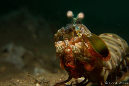 Big mantis shrimp swimming by David Ferreira