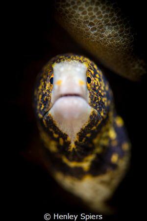 Snowflake Eel by Henley Spiers