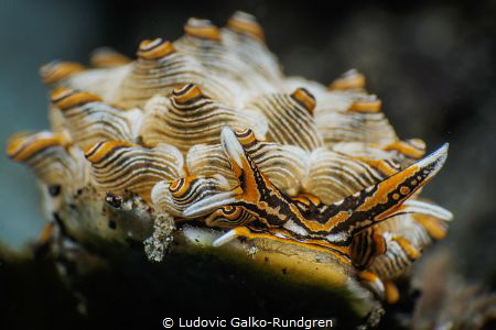 Cyerce Nigra nudibranch closeup by Ludovic Galko-Rundgren
