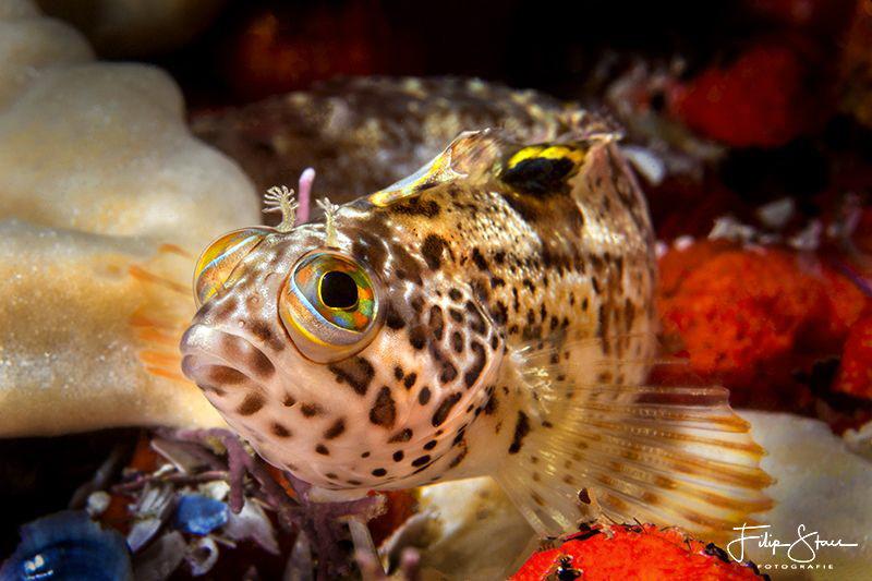 Klipfish, False bay, South Africa. by Filip Staes