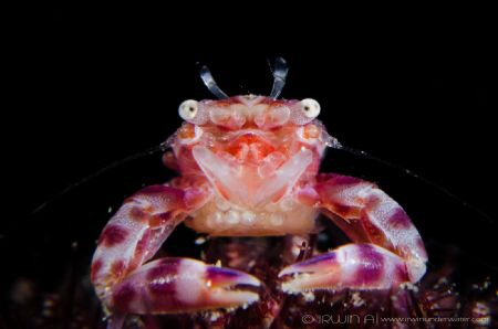 M A M A  Porcelain crab with eggs (Porcellanidae) Lembe... by Irwin Ang