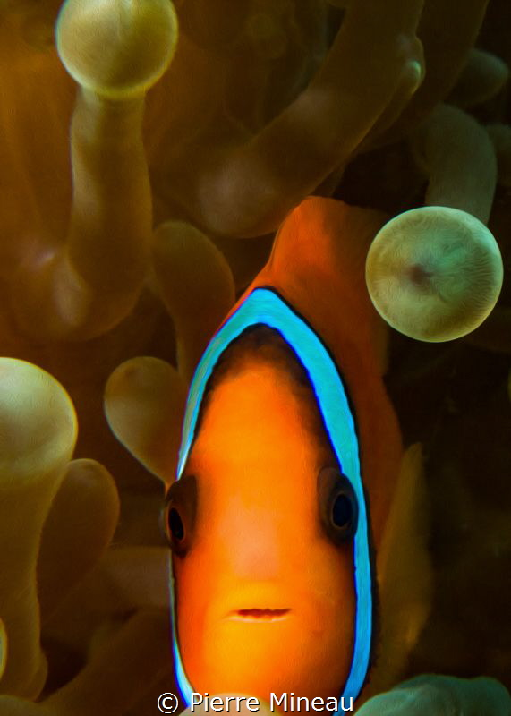 Who can resist taking one more clownfish? by Pierre Mineau