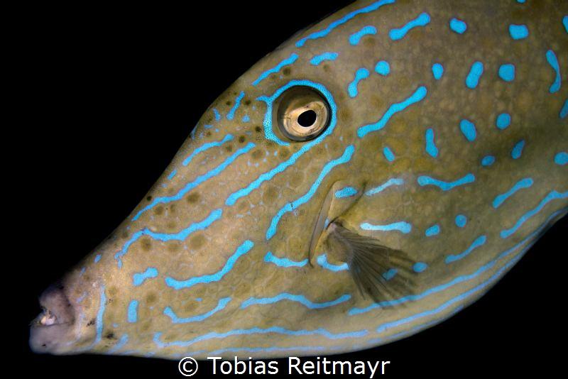 Scrawled Filefish, Tioman Island by Tobias Reitmayr
