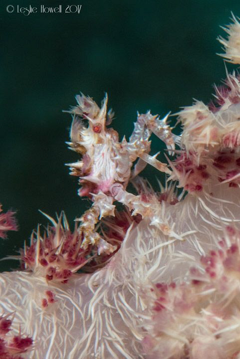 I claim this soft coral in the name of all soft coral crabs by Leslie Howell
