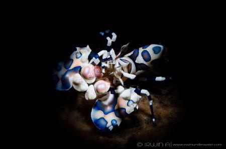 S N O O T  Harlequin shrimp (Hymenocera picta) Tulamben... by Irwin Ang