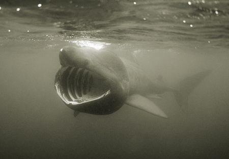 Basking shark swimming in the English Channel. D200 in Se... by Jean-Philippe Trenque