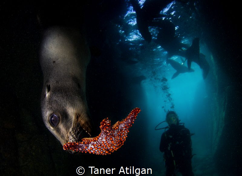Playing sea lion puppies by Taner Atilgan