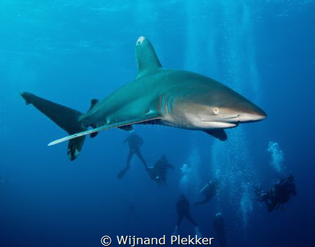 Oceanic Whitetip Shark by Wijnand Plekker
