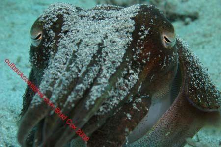 Cuttlefish Indo by Brad Cox