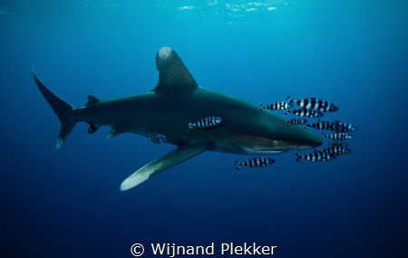 Oceanic Whitetip with company by Wijnand Plekker