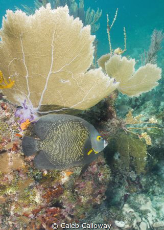 This images of a French angelfish was captured on molasse... by Caleb Calloway
