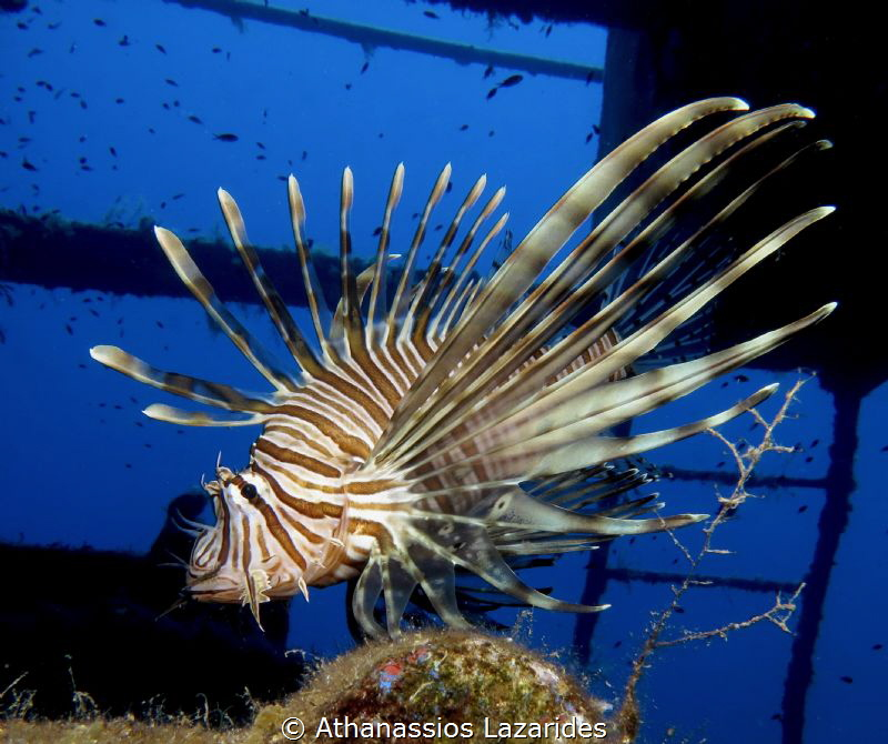 """Majestic invador"" - Pterois miles-Invasive lion fish in ... by Athanassios Lazarides"