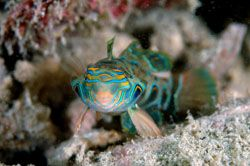 Another PICTURE DRAGONET taken in Kapalai May,2006. D70,1... by Frankie Tsen