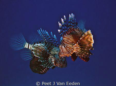 A close couple of Devil Firefish (Pterois radiata) by Peet J Van Eeden