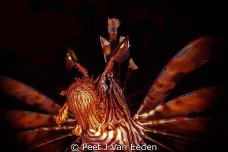 The Devil firefish. its scientific name Pterois miles mea... by Peet J Van Eeden