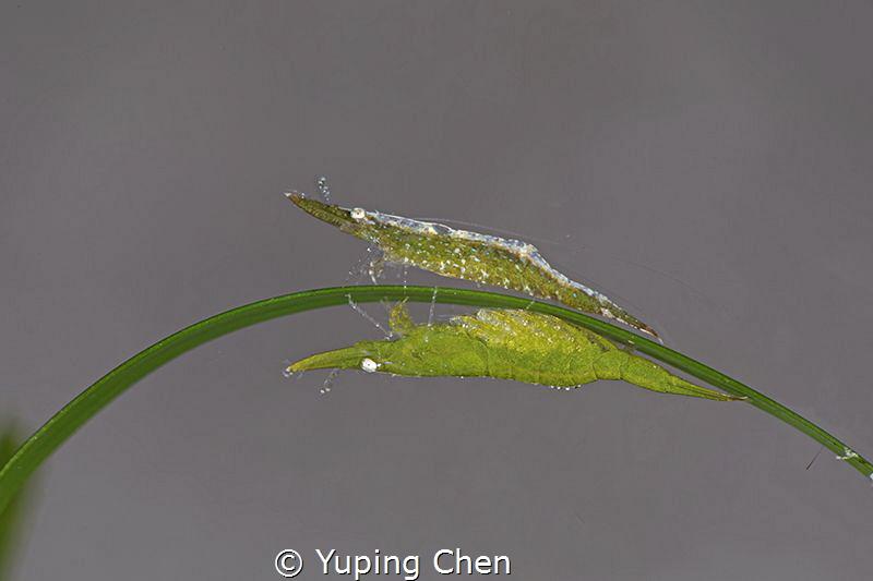 Bignose seagrass shrimp/Anilao,Philippine/Canon 5D MarkIV... by Yuping Chen