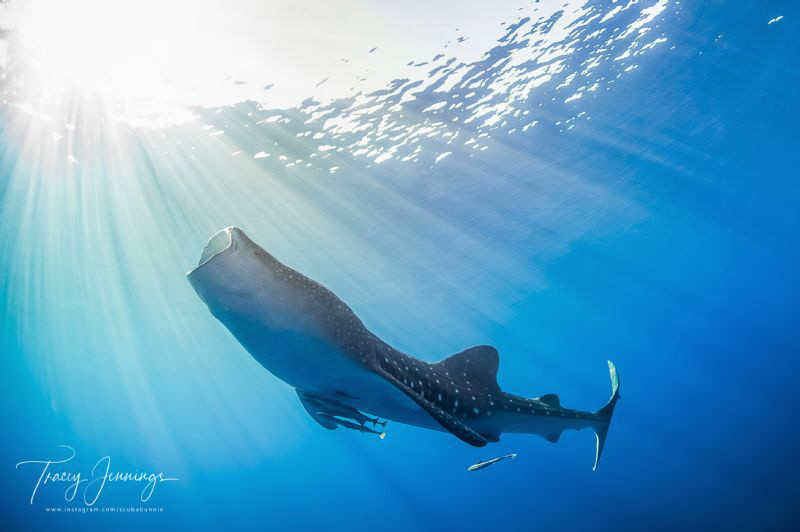 Soaking up the suns' rays. Feeding whaleshark. by Tracey Jennings