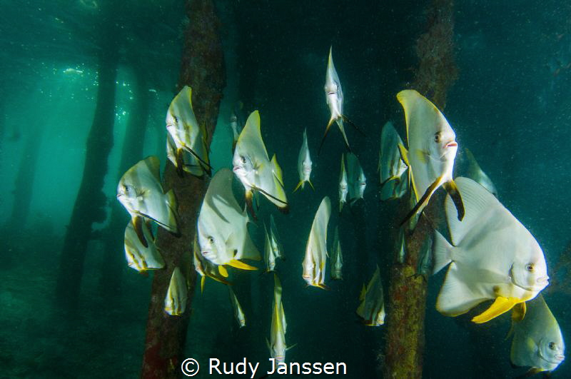 Batfish at Arborek Raja Ampat by Rudy Janssen