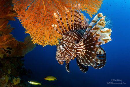 Lionfish from Koh Tachi by Stuart Ganz