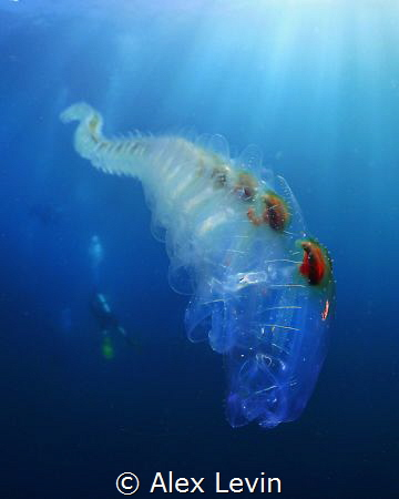 Salps by Alex Levin
