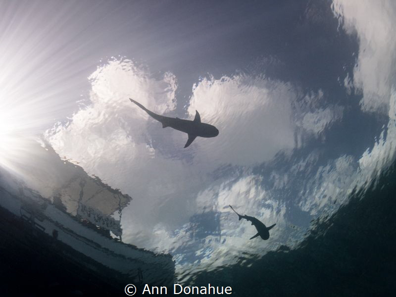 A perfect day to shoot sharks silhouettes in Yap: calm, s... by Ann Donahue