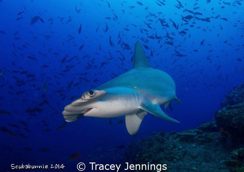 Hammerhead shark by Tracey Jennings