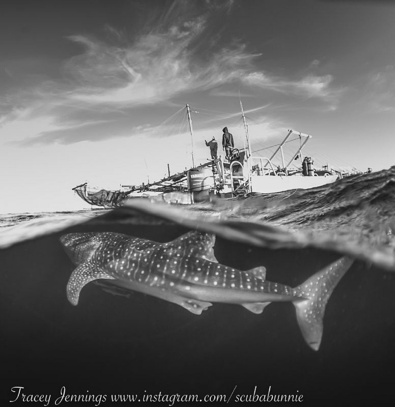 Whaleshark by Tracey Jennings