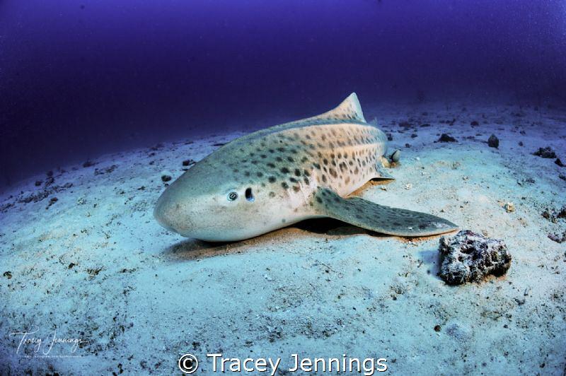 leopard shark by Tracey Jennings