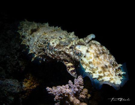 C O N N E C T E D Cuttlefish by Ton Ghela