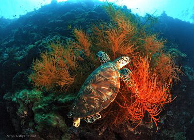 Quiet time.Sipadan - the island of turtles. by Sergey Lisitsyn