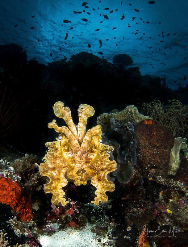 Wakatobi Cuttlefish by Steven Miller