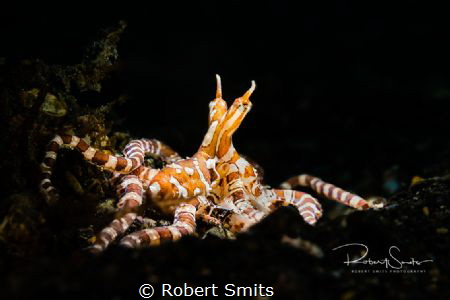 Did you know that the Wunderpus Photogenicus has a look-a... by Robert Smits